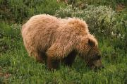 Wild Grass Posters - Grizzly Bear Eating Bear Grass, Denali Poster by David Ponton