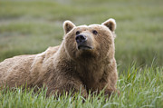 Katmai National Park Prints - Grizzly Bear In Grass Katmai National Print by Suzi Eszterhas