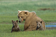 Katmai National Park Prints - Grizzly Bear Mother And Cubs Katmai Print by Suzi Eszterhas