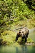Wild Animals Art - Grizzly Bear On Shore by Richard Wear