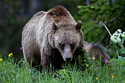 Three Animals Posters - Grizzly Bear Sow In Wildflowers Poster by Rob Daugherty - RobsWildlife.com