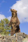 Predatory Animals Framed Prints - Grizzly Bear Standing On A Ridge Framed Print by John Pitcher