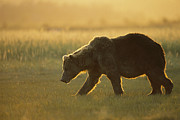 Katmai National Park Prints - Grizzly Bear Walking At Sunset Katmai Print by Suzi Eszterhas