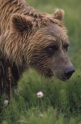 Wild Grass Posters - Grizzly Bear Wet From Rain Poster by David Ponton