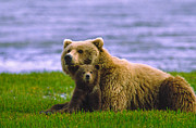 Featured Art - Grizzly Bear with Cubs by Boyd E Norton and Photo Researchers