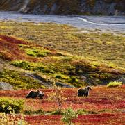 Out-of-door Prints - Grizzly Bears And Fall Colours, Denali Print by Yves Marcoux