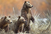 Three Animals Framed Prints - Grizzly Cubs Framed Print by Rob Daugherty - RobsWildlife.com