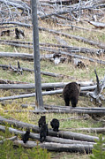 Wild Animal Photos - Grizzly Family Walking Through Woods by Steve Stuller