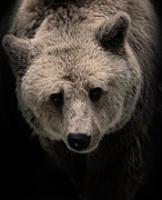 Sweetly Prints - Grizzly Print by Ivica Vulelija
