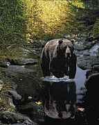 Fall Colors Autumn Colors Drawings Posters - Grizzly Reflection Poster by Brent Ander