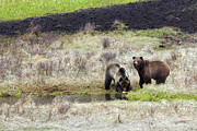 Lush Art - Grizzly Sow And Two Year Old Cub by Photo By Daryl L. Hunter - The Hole Picture