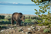 North American Wildlife Posters - Grizzly Sow at Yellowstone Lake Poster by Sandra Bronstein