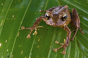 New Britain Photo Prints - Ground Frog Nakanai Mts Papua New Guinea Print by Piotr Naskrecki