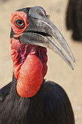 Hornbill Originals - Ground Hornbill by Tamar Toerien
