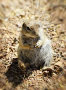 Ground Framed Prints - Ground Squirrel Framed Print by Saija  Lehtonen