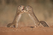 Hector D Astorga - Ground Squirrels at Play
