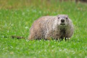 Groundhog Photos - Groundhog by Dave Gigliotti