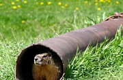 Groundhog Framed Prints - Groundhog In A Pipe Framed Print by Will Borden