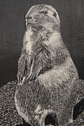 Den Drawings Prints - Groundhog Print by William Ohanlan