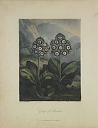 Robert Plant Print Art - Group of Auricula by Robert John Thornton