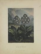 Group Of Auricula Print by Robert John Thornton