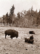 1880s Candid Prints - Group Of Buffalo, Dott Island Print by Everett