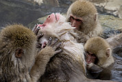 Grooming Prints - Group Of Grooming Snow Monkeys Print by Roy Toft