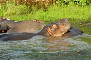 Hippopotamus Photo Posters - Group of Hippopotamus bathing in river Poster by Sami Sarkis