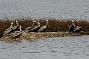Group Of Pelicans Print by Paulette  Thomas