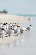 Animal Themes Metal Prints - Group Of Terns On Sandy Beach Metal Print by Angela Auclair