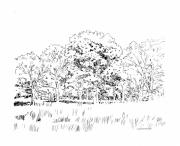 Oak Drawings Prints - Grove of Oak Trees Print by John Lautermilch