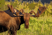 Bull Moose Posters - Growing Antlers- Abstract Poster by Tim Grams