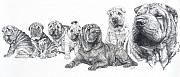 Purebred Drawings - Growing Up Chinese Shar-Pei by Barbara Keith