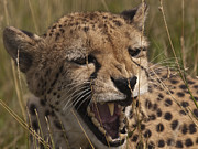 Peter Chapman - Growl Of A Cheetah