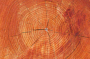 Pinus Prints - Growth Rings Of A Scots Pine Tree Print by Duncan Shaw