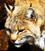 Bobcat Posters - Grumpy Bobcat Wake Up Poster by Kevin Lormand