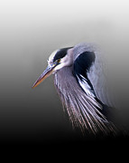 Blue Heron Prints - Grumpy Ole Man Print by Skip Willits