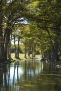 Texas Art - Guadalupe Cypress by Robert Anschutz