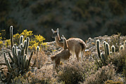 Habitats Prints - Guanacos At An Altitude Of Ten Thousand Print by Joel Sartore