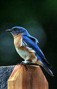 Bluebird Metal Prints - Guard At Work Metal Print by Skip Willits