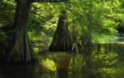 Cypress Trees Photos - Guardianship by Iris Greenwell