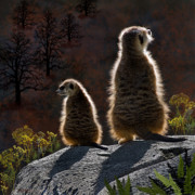 Meerkat Digital Art Prints - Guarding Meerkats Print by Thanh Thuy Nguyen
