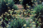 Sources Posters - Guayule Plants Poster by Science Source