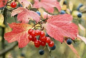 Drupe Framed Prints - Guelder Rose Berries (viburnum Opulus) Framed Print by Bob Gibbons