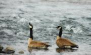 Wild Geese Prints - Guess Whos Coming To Dinner Print by Donna Blackhall