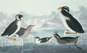 Drawn Framed Prints - Guillemots and Auks Framed Print by John James Audubon