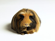 Front View Art - Guinea Pig Against White Background, Close-up by Michael Blann