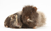 Animal Humor Posters - Guinea Pig And Baby Poster by Mark Taylor
