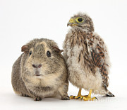 Baby Bird Prints - Guinea Pig And Kestrel Chick Print by Mark Taylor