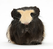 Animal Humor Posters - Guinea Pig Poster by Mark Taylor